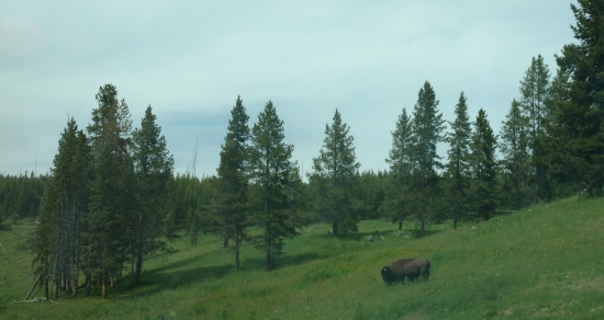 bison by the car